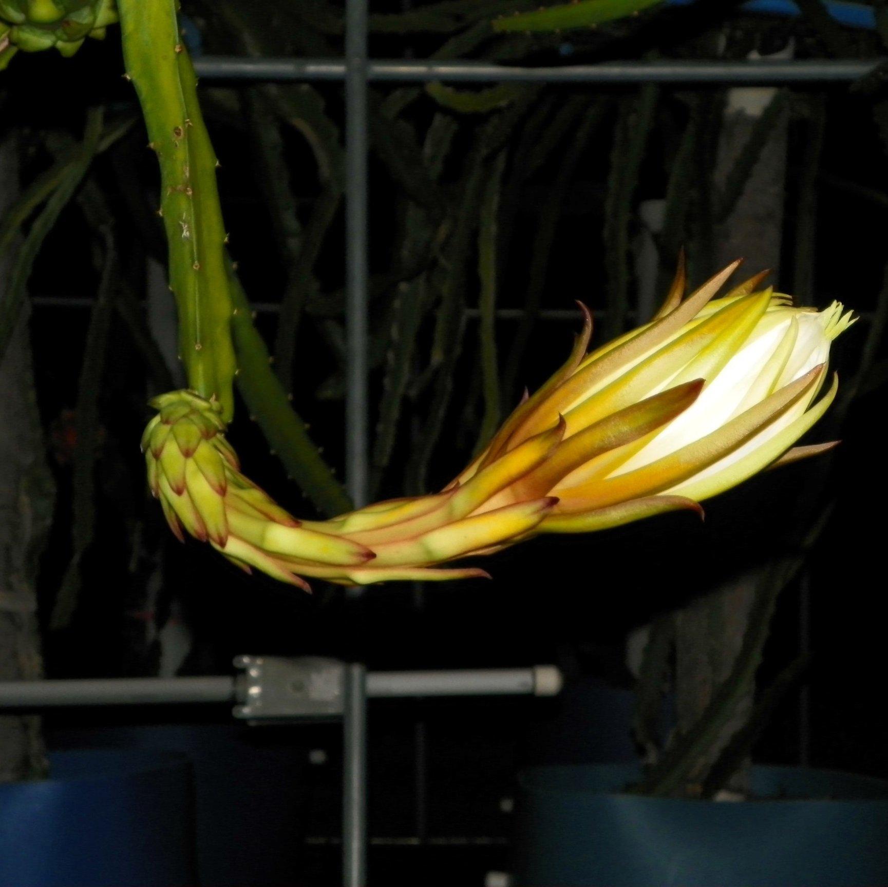 Yellow Thai Flower Bud