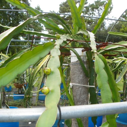 Sin Espinas Dragon Fruit Flower Bud