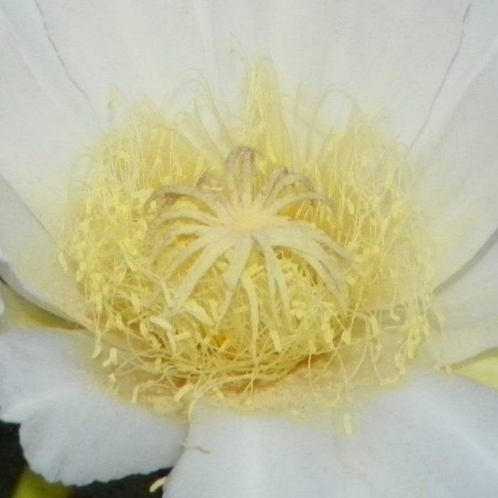 Sin Espinas Flower Stigma