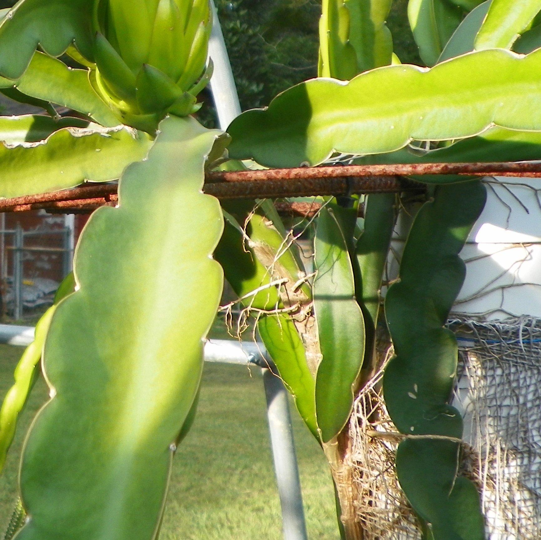 Sin Espinas Dragon Fruit spineless