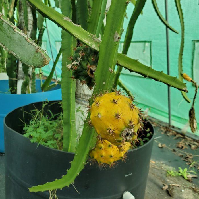 Palora Dragon Fruit on the vine