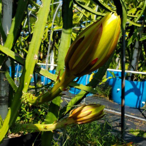 Palora Dragon Fruit Flower Bud