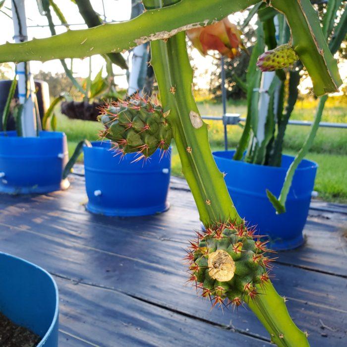 Palora Young Dragon Fruit