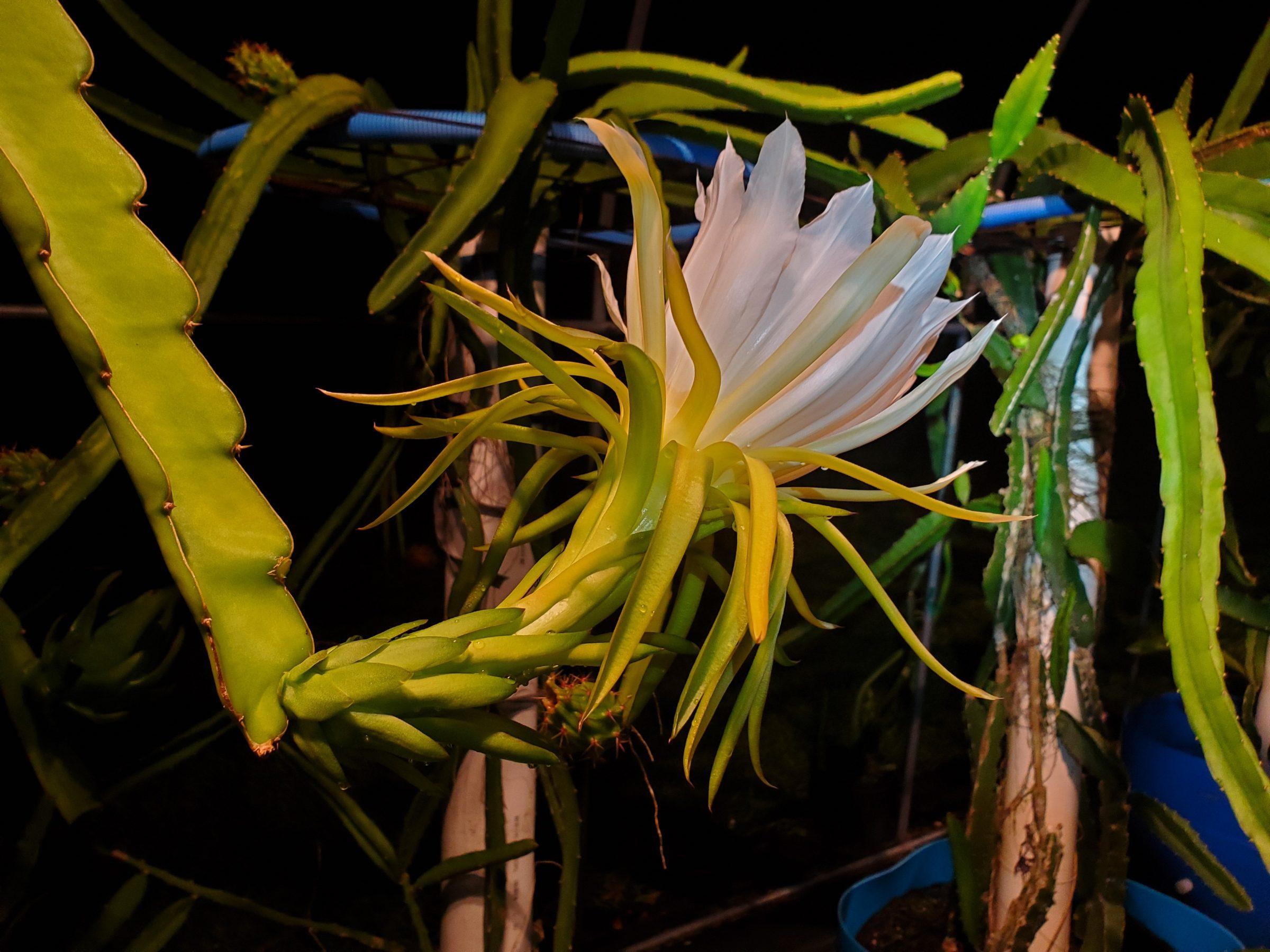 Jamaican Dragon Fruit flower