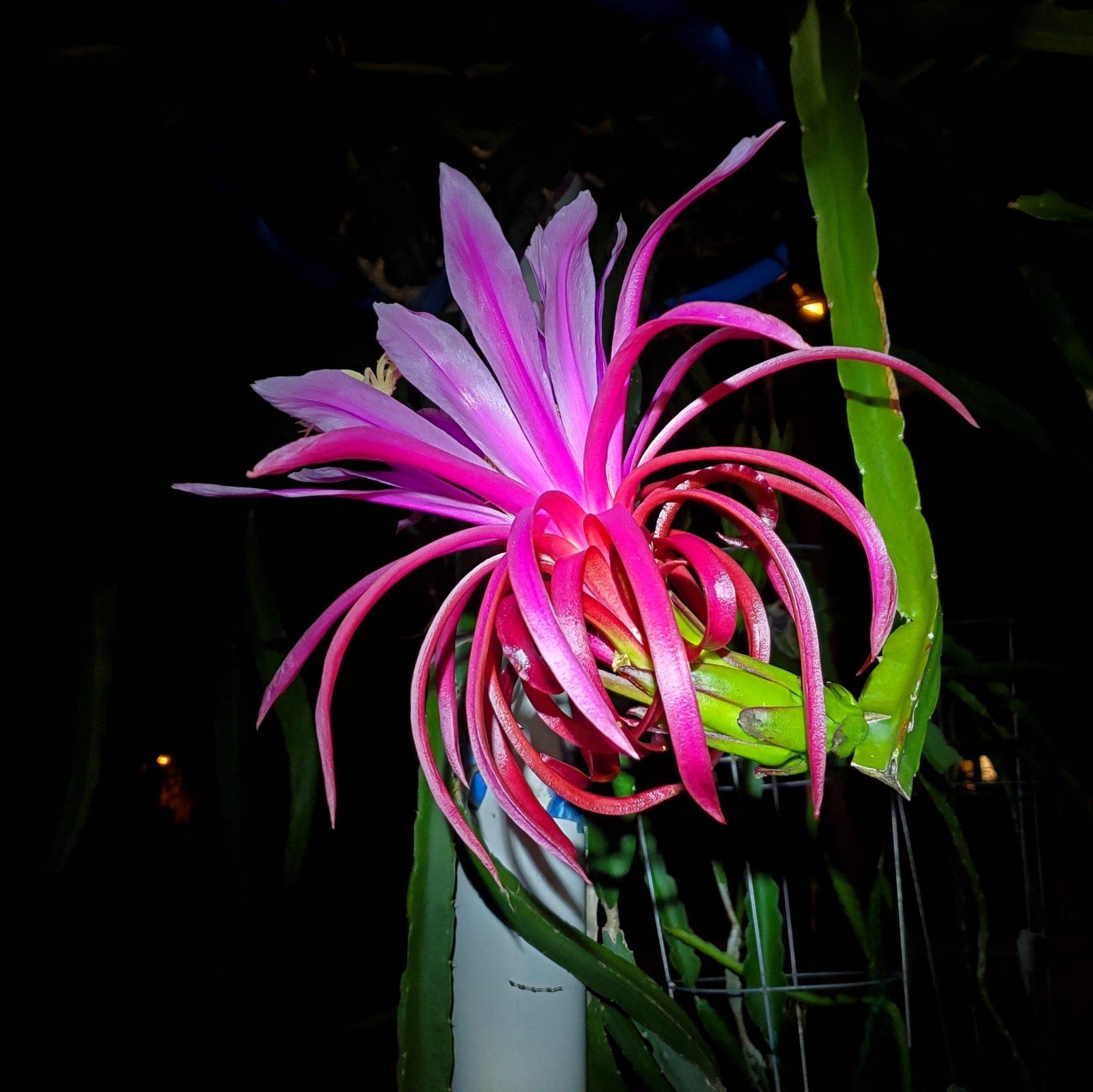 Ax Dragon Fruit Flower