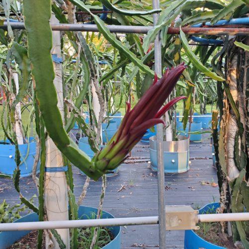 Ax Dragon Fruit Flower Bud