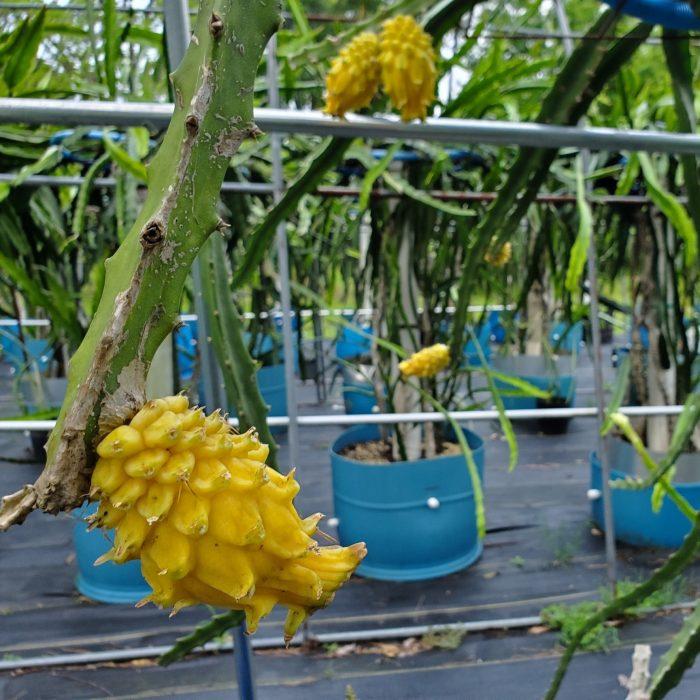 Yellow Dragon Fruit on vine