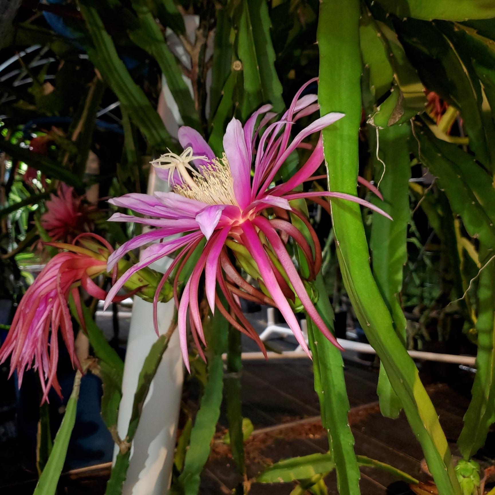 Asunta 2 Dragon Fruit Flower