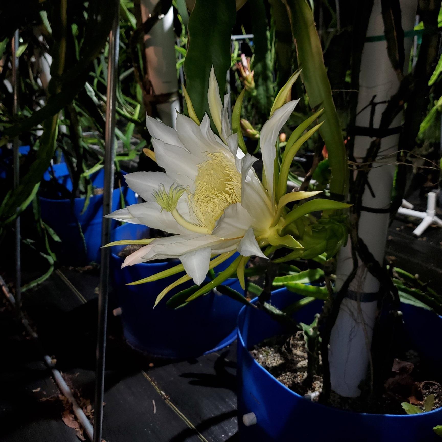 Israel Yellow Dragon Fruit Flower