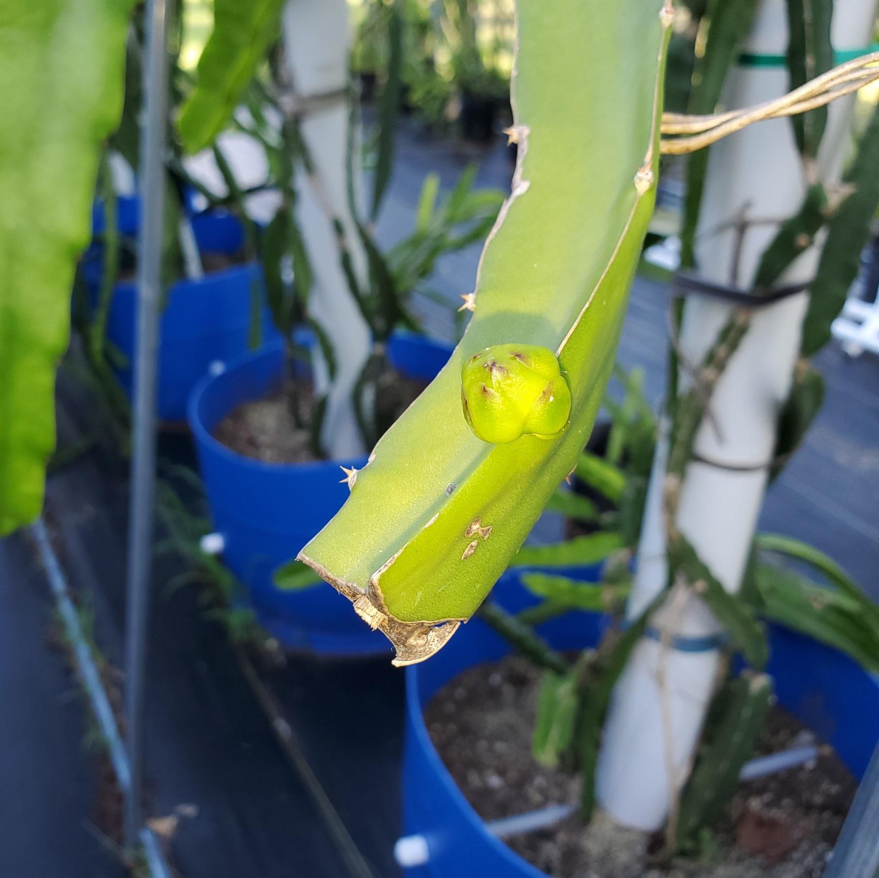 Israel Yellow Dragon Fruit Flower Bud