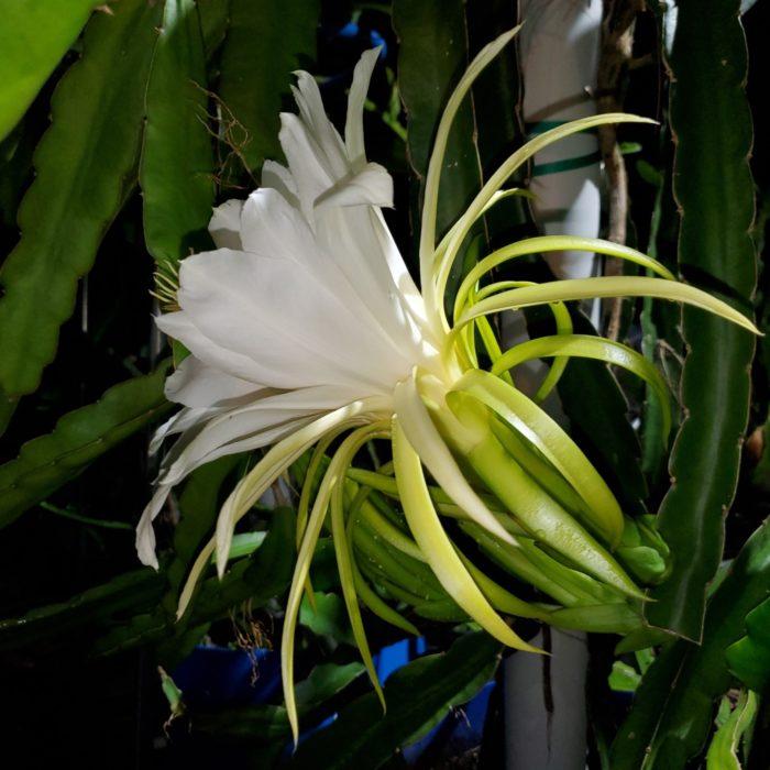 La Verne Pink Dragon Fruit Flower