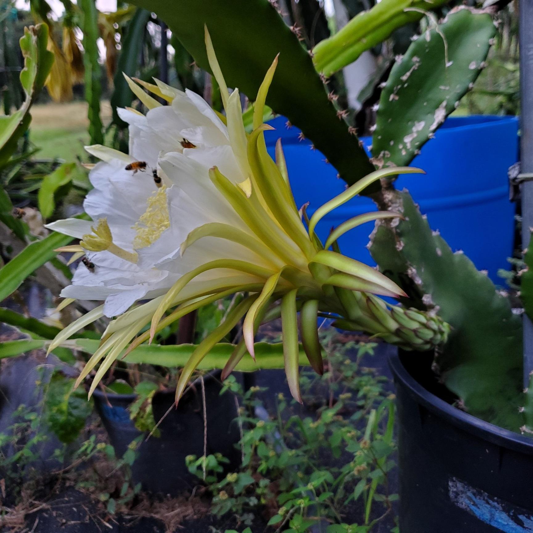 Costa Rican Sunset Dragon Fruit Flower