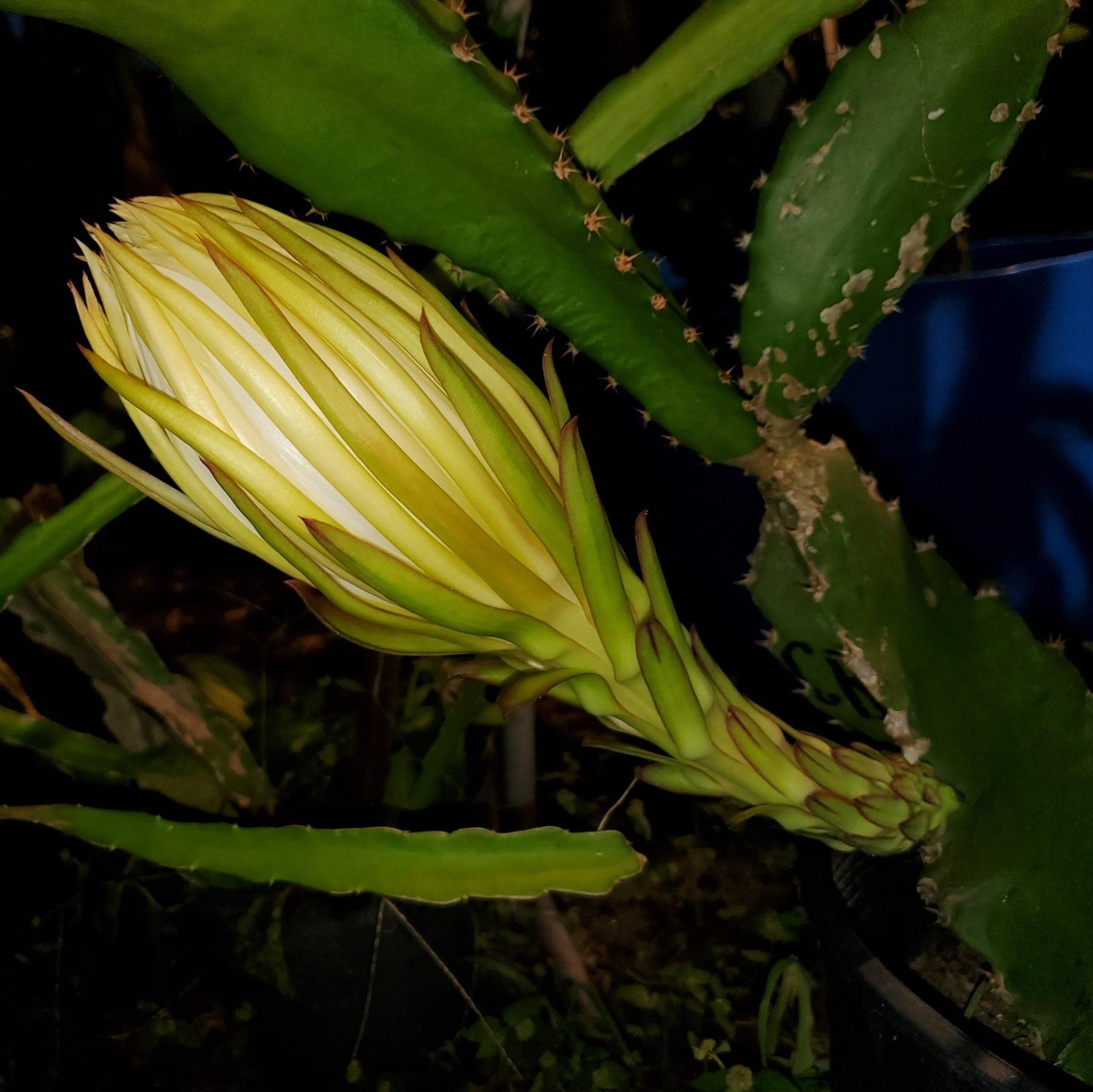 Costa Rican Sunset Dragon Fruit Flower bud