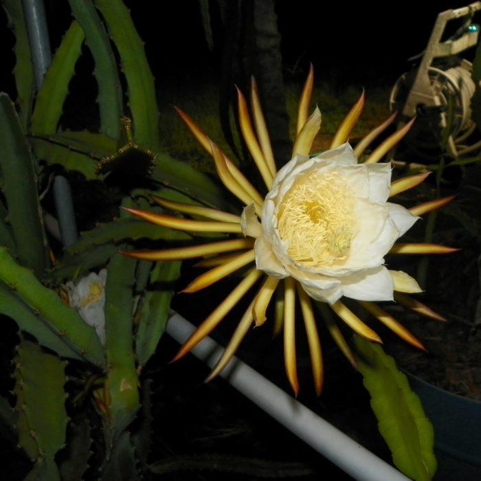 Yellow Cross 68 Dragon Fruit flower