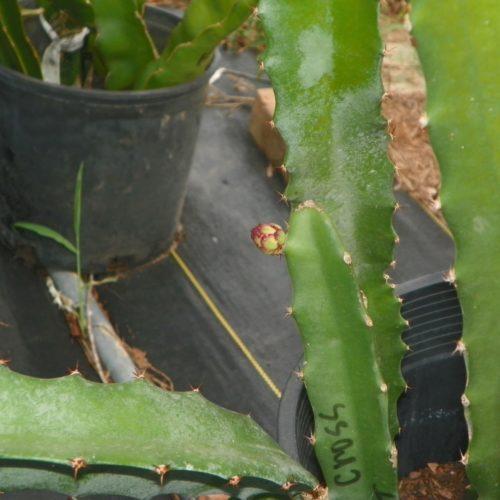 Yellow Cross 68 Dragon Fruit flower bud
