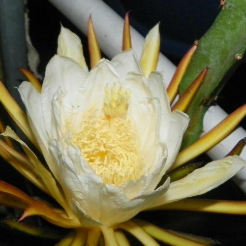 Yellow Cross 68 Dragon Fruit flower stigma