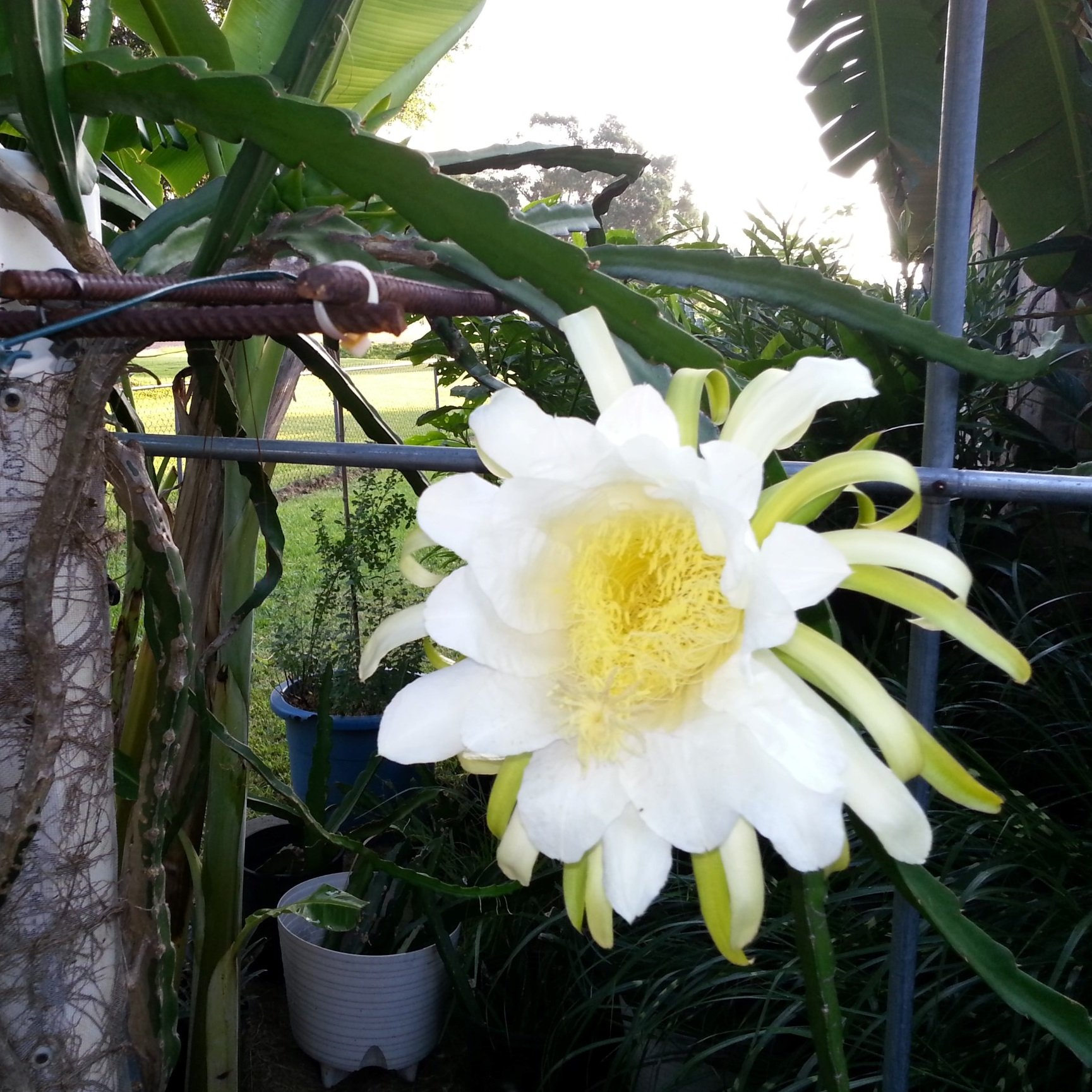 American Beauty Dragon Fruit flower