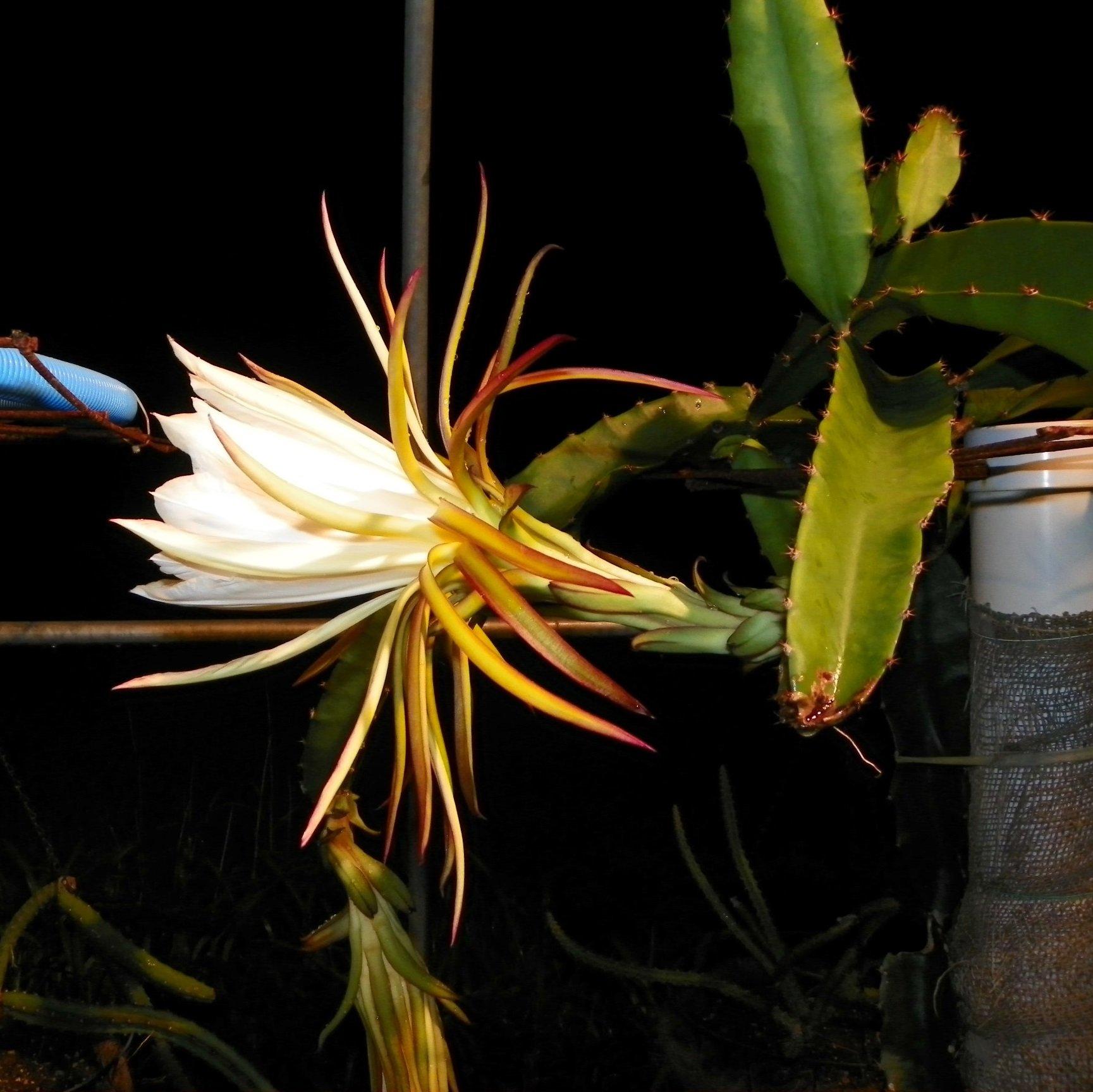 Armando Dragon Fruit variety flower