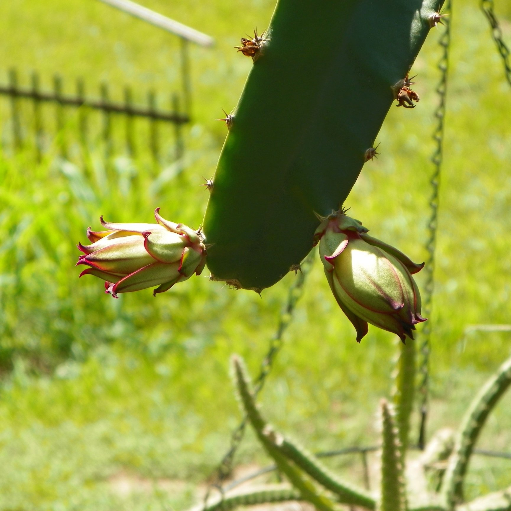 Armando Dragon Fruit variety flower bud