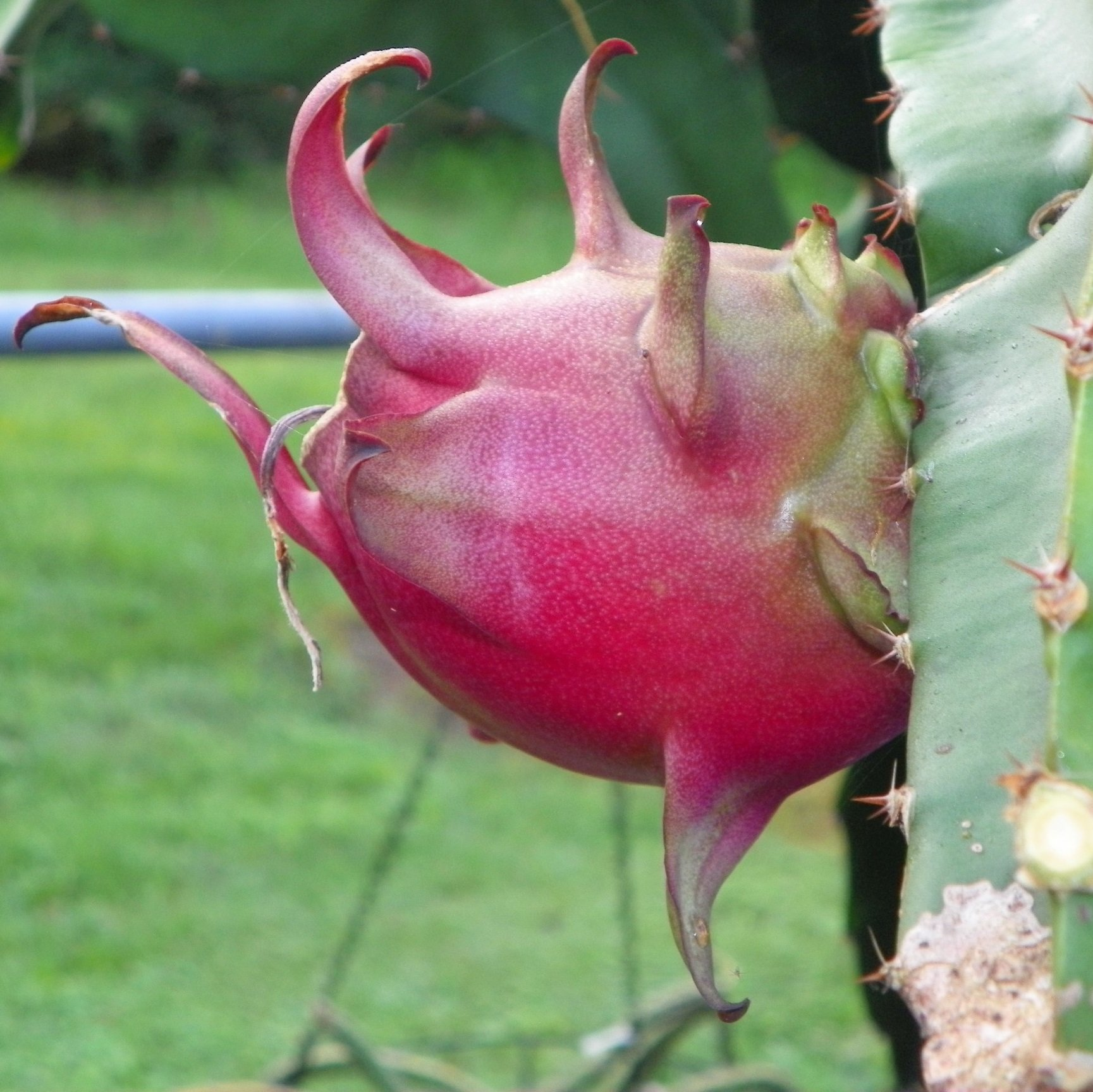 Armando Dragon Fruit variety fruit