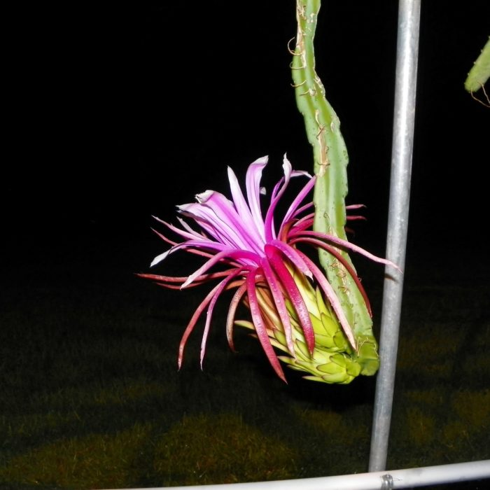 Asunta 3 Purple Dragon Fruit Flower