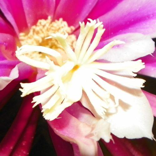 Asunta 3 Purple Dragon Fruit Flower Stigma