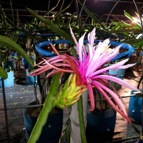 Asunta 4 Dragon Fruit Flower