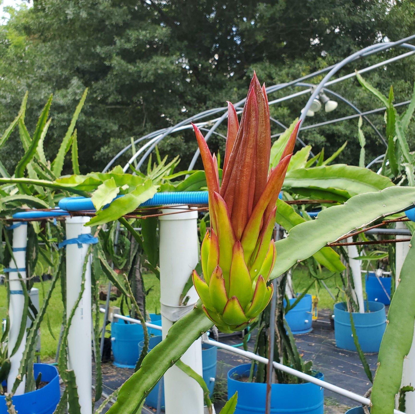 Asunta 4 Dragon Fruit Flower Bud