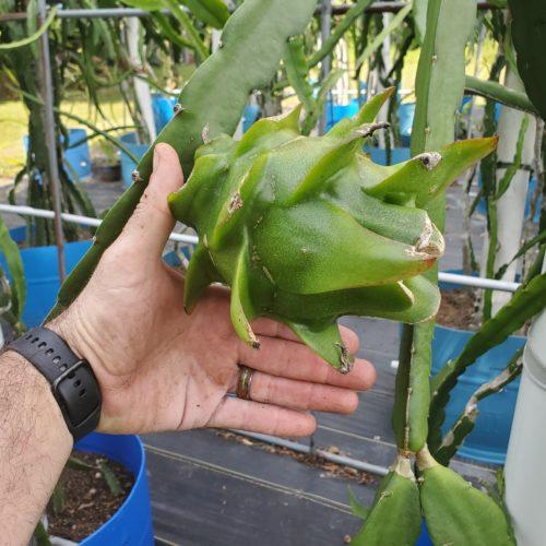 Asunta 4 Dragon Fruit on the plant