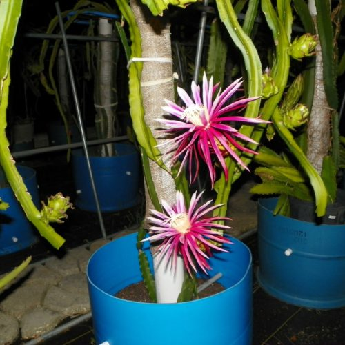 Dragon Fruit variety Bruni flowers