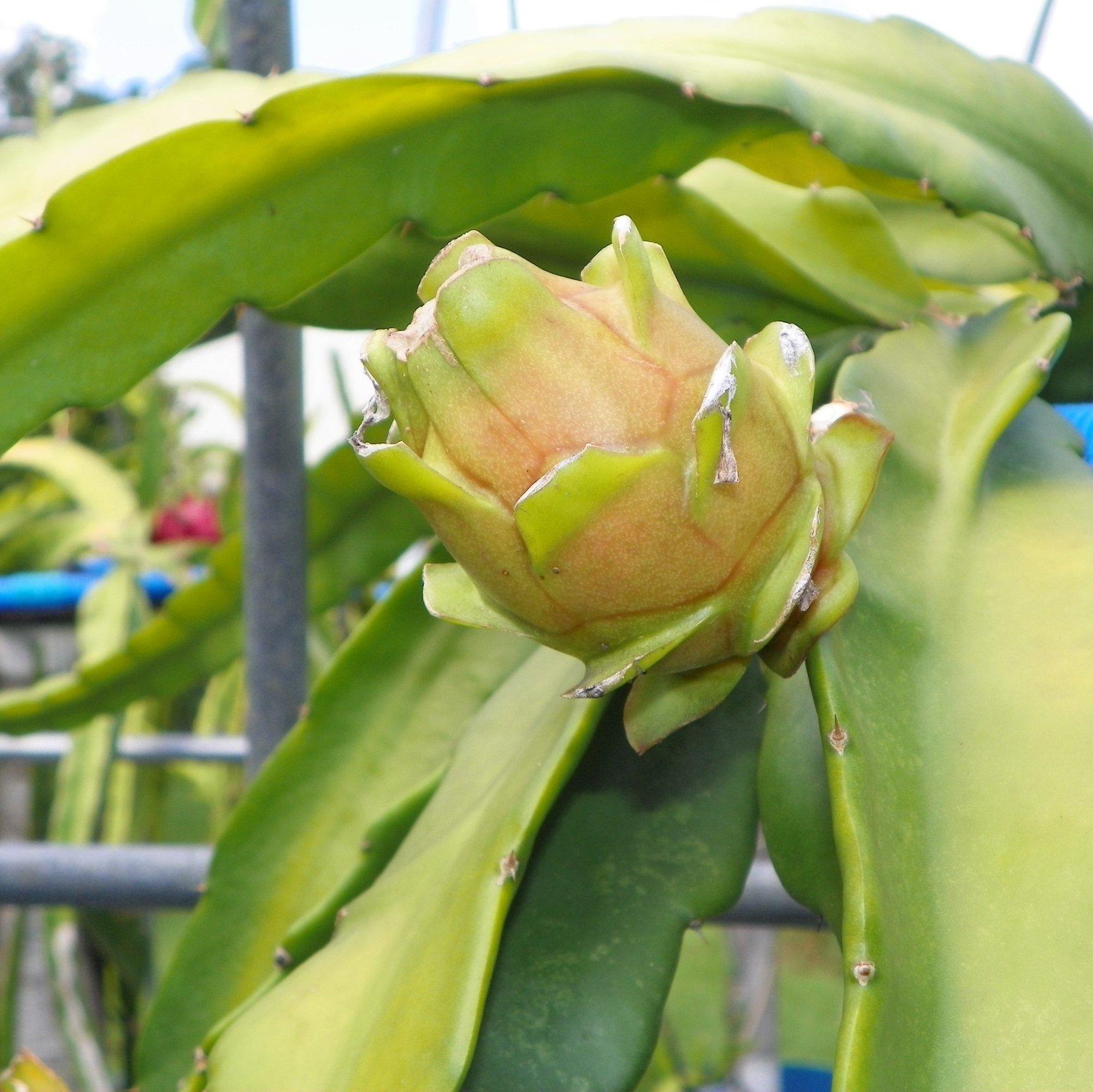 Dragon Fruit variety Bruni fruit