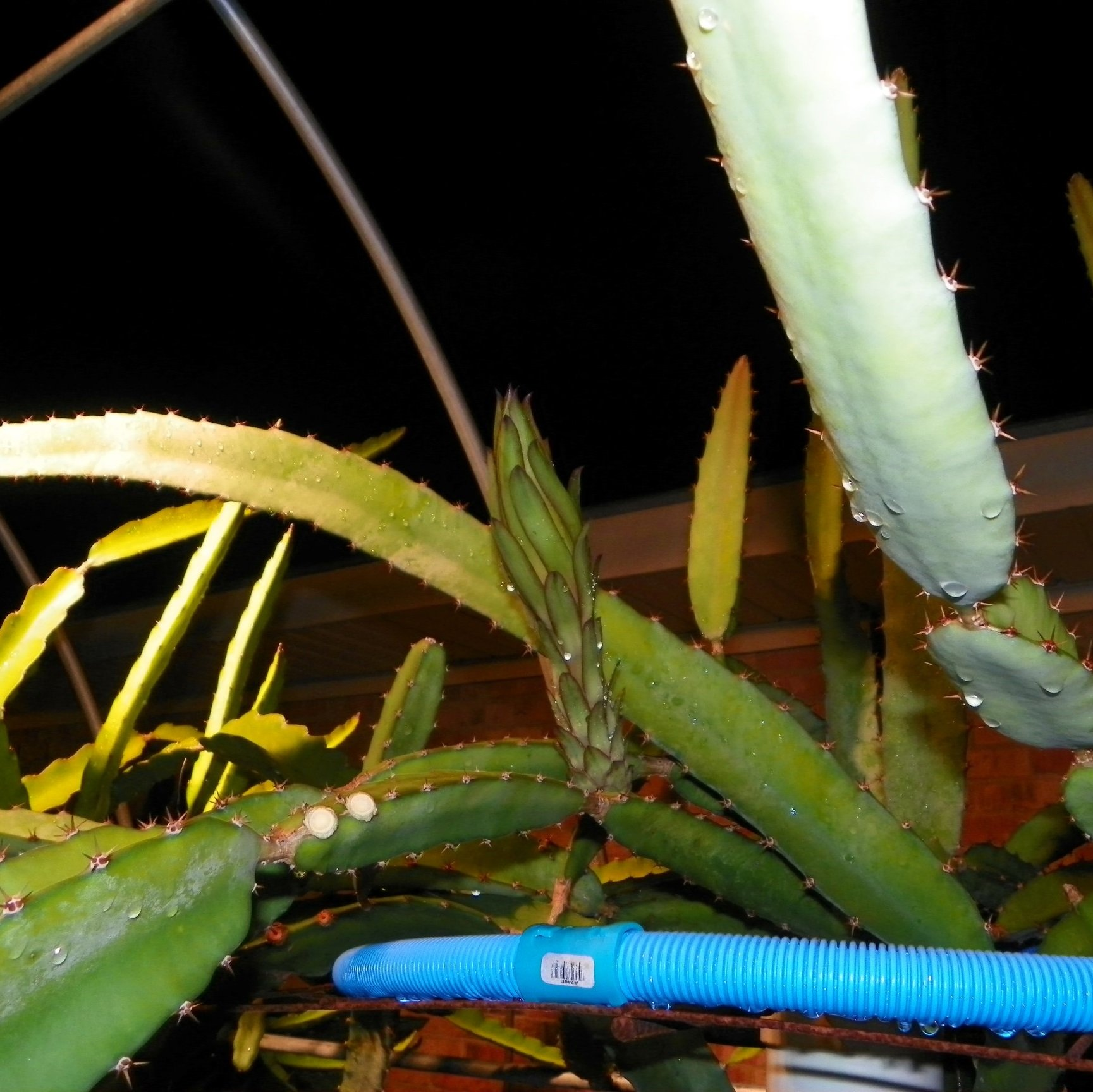 Dragon Fruit variety Cebra flower bud