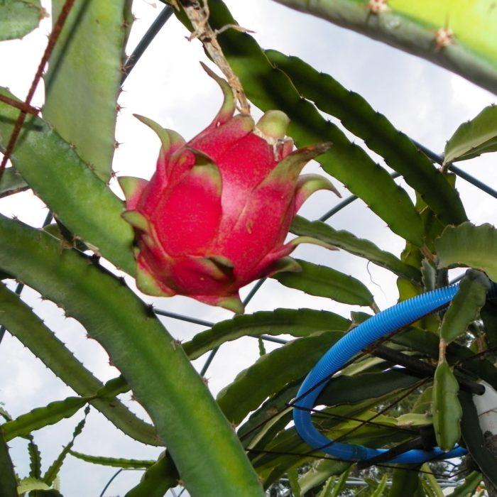 Dragon Fruit variety Cebra fruit on the vine