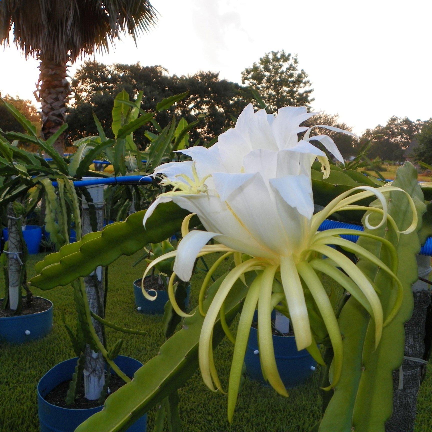 Cosmic Charlie Dragon Fruit flower