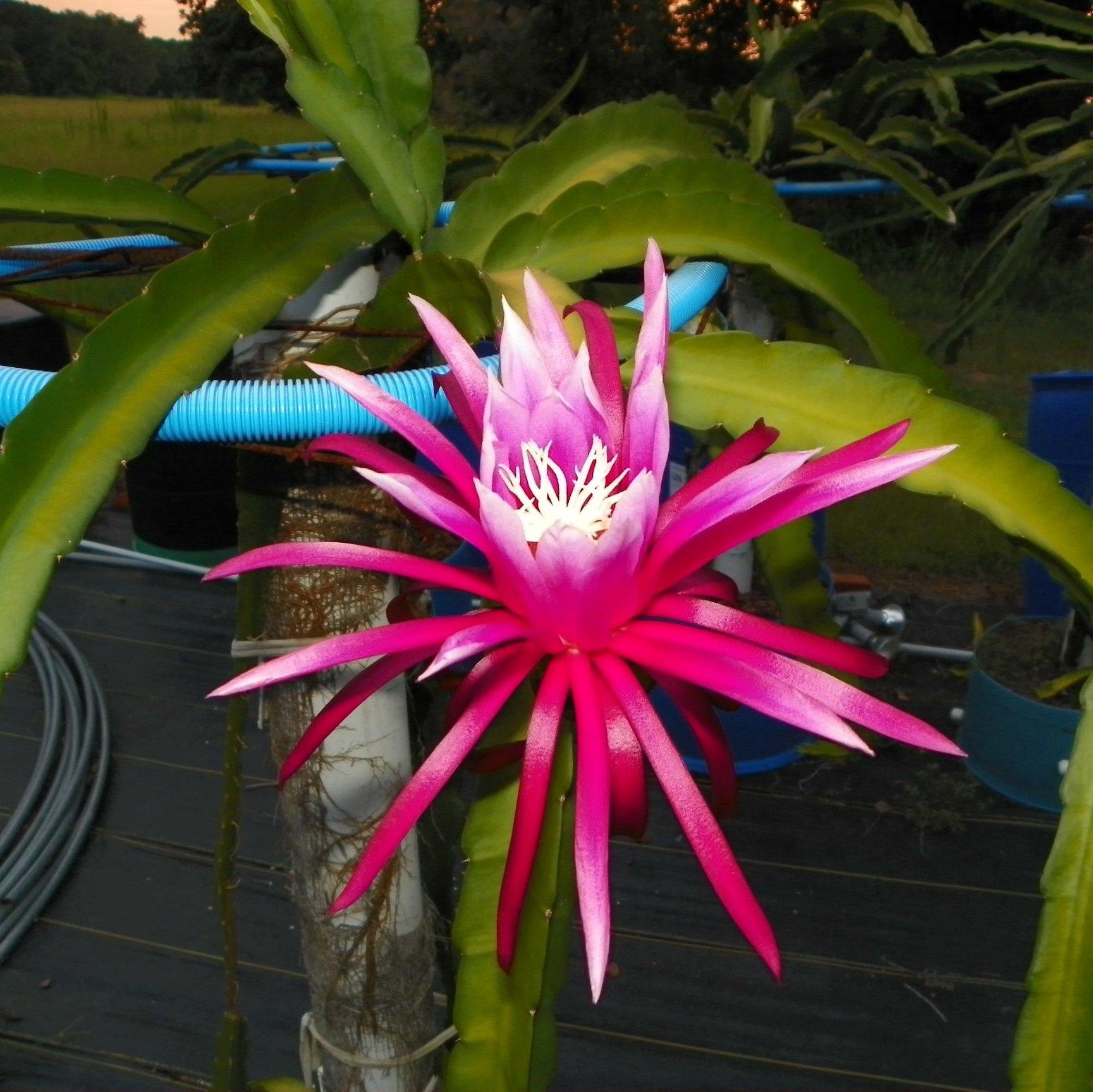Connie Mayer Dragon Fruit Flower