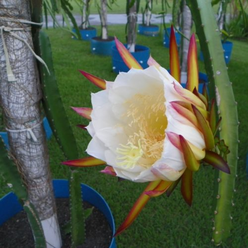 Dragon Fruit variety Hylocereus Costaricensis flower