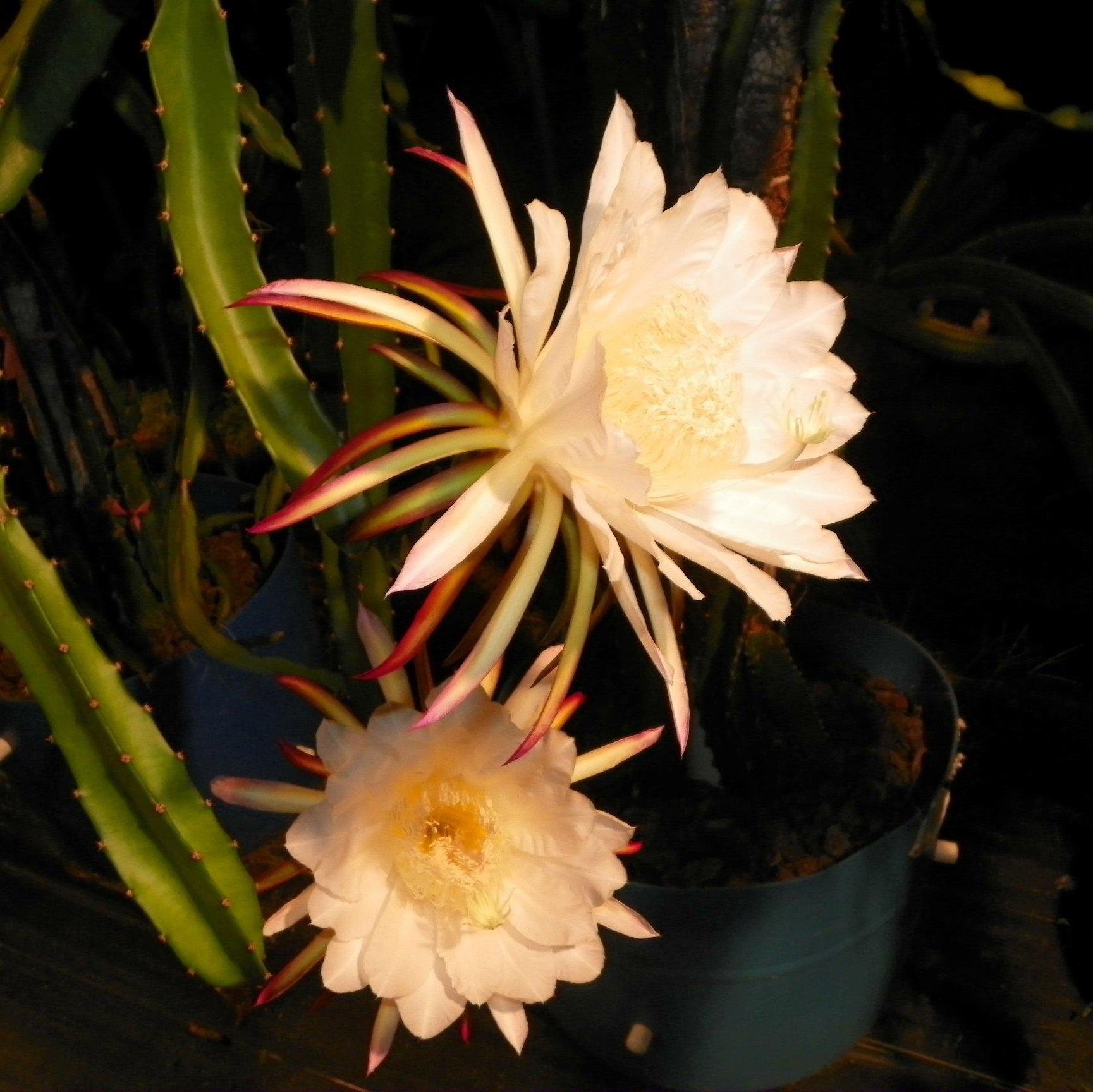 Country Roads Dragon Fruit Flower