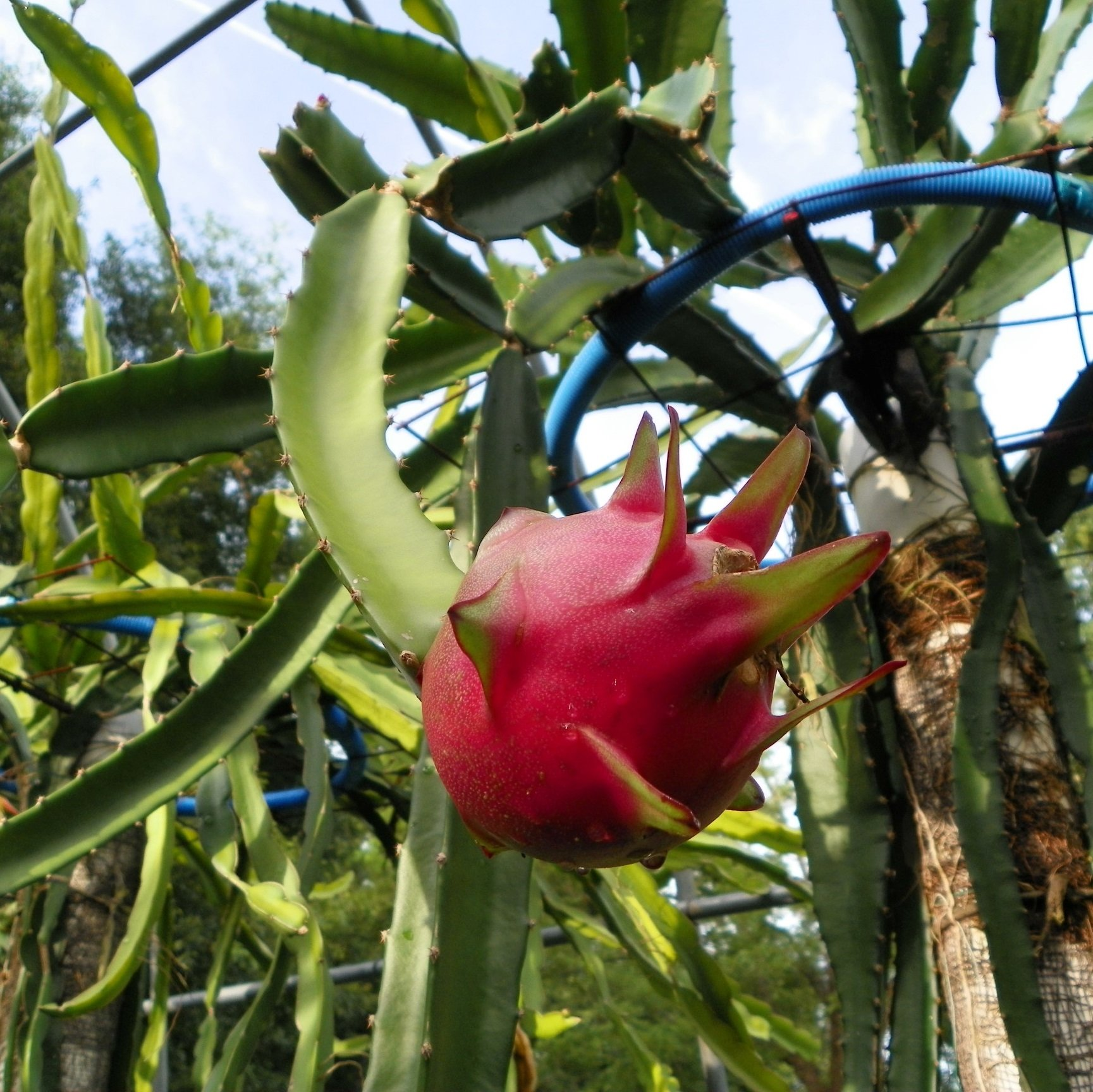 Country Roads Dragon Fruit