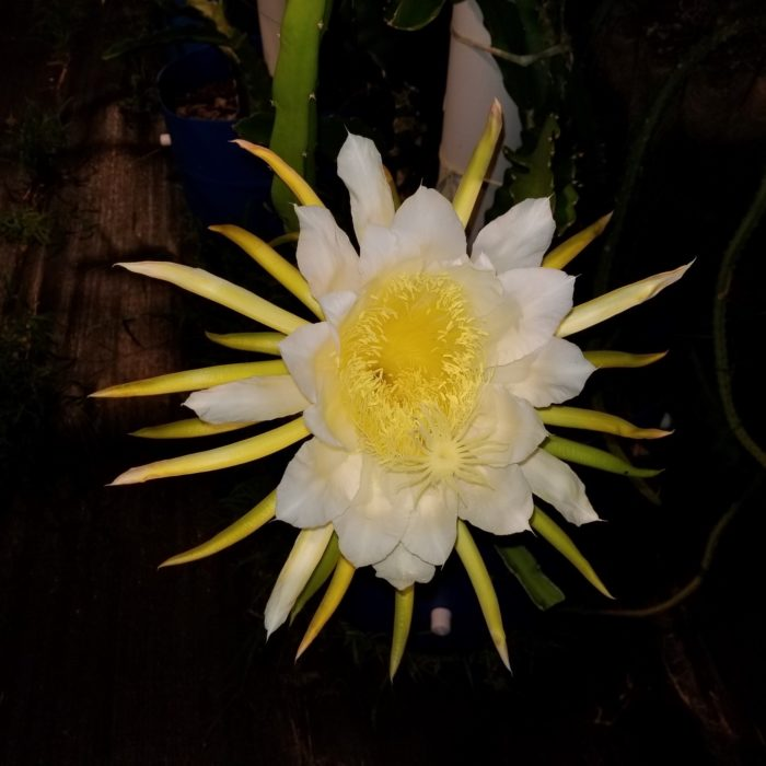 Capistrano Valley Dragon Fruit Flower