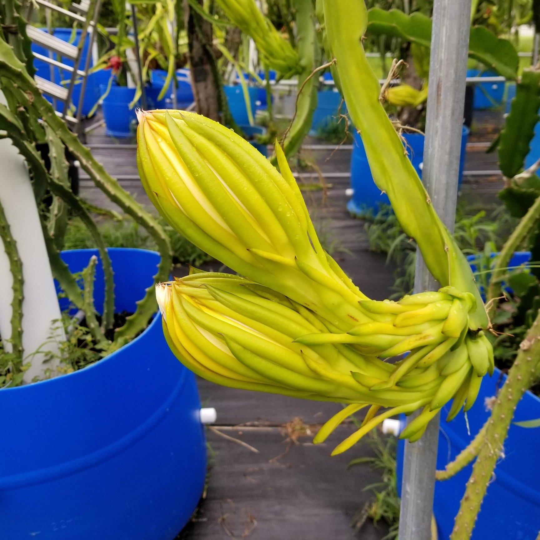 Capistrano Valley Dragon Fruit Flower Bud
