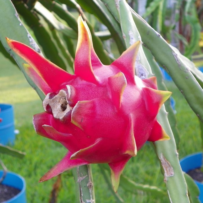 Dragon Fruit variety Delight fruit