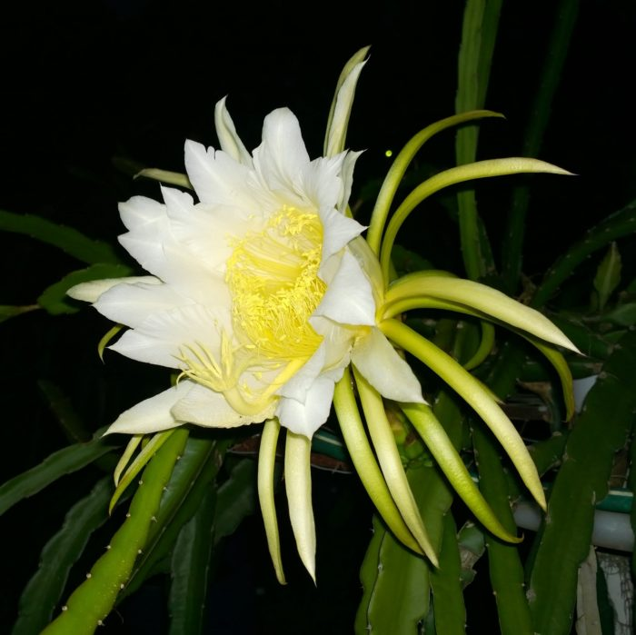 Dragon Fruit variety Delight flower