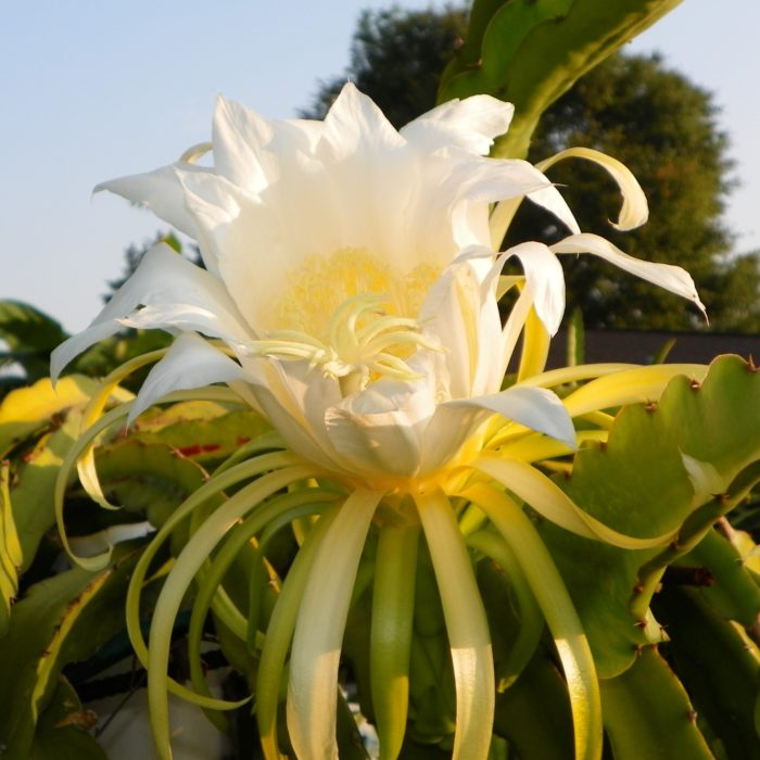 Dragon Fruit variety Dark Star flower