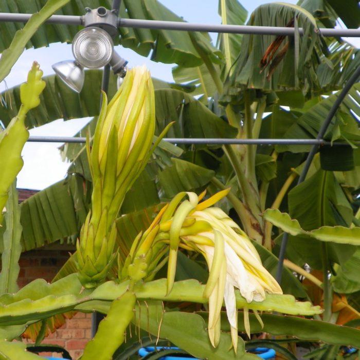 Dragon Fruit variety G2 Thomson flower bud