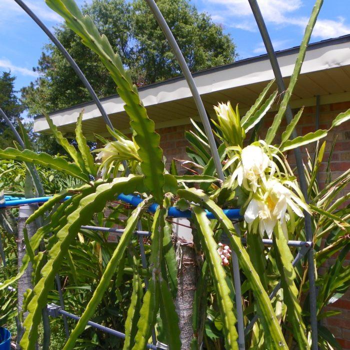 Dragon Fruit variety Hylocereus guatemalensis plant
