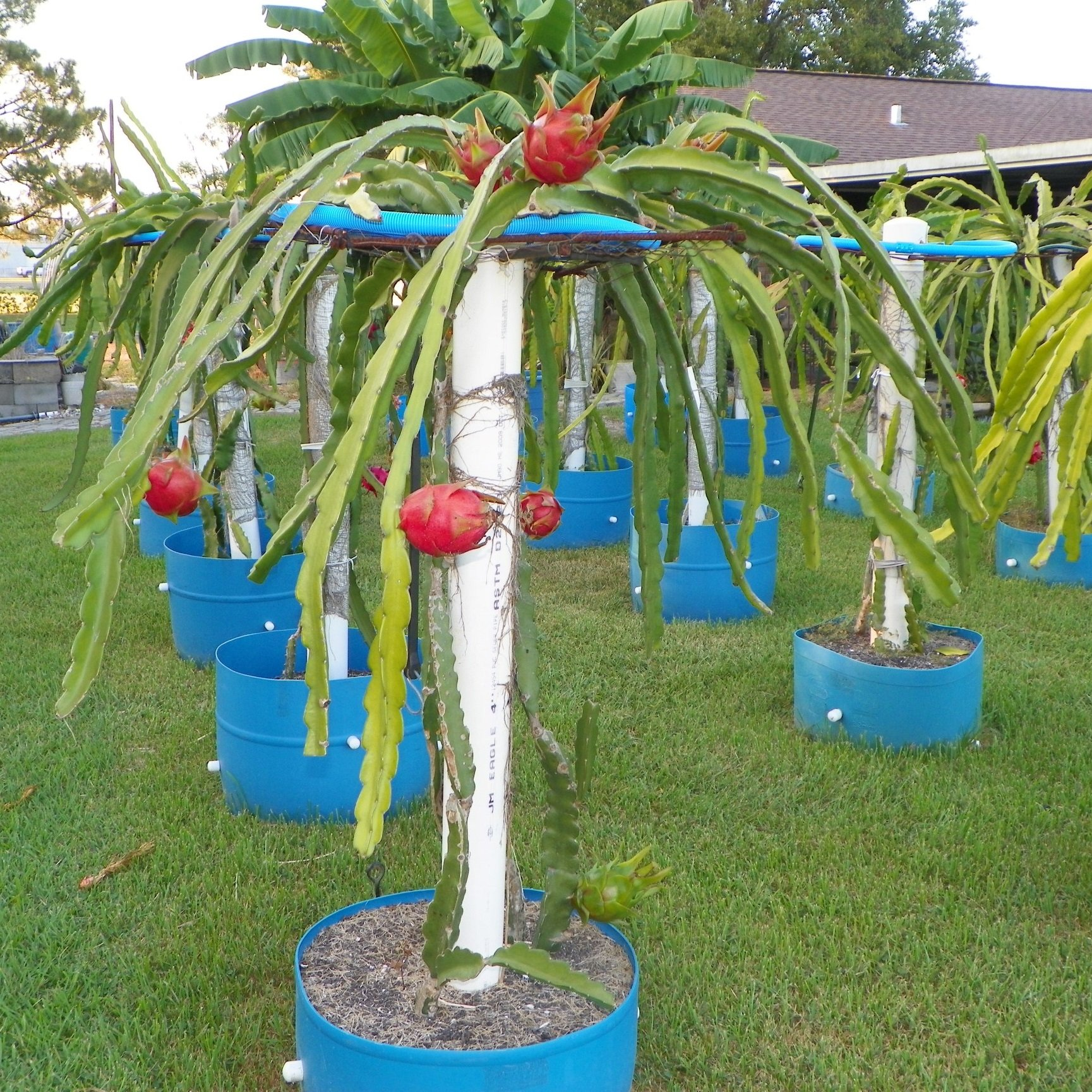 Dragon Fruit variety Halleys Comet plant
