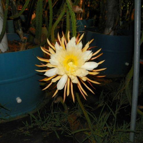 Selenicereus Hondurensis flower