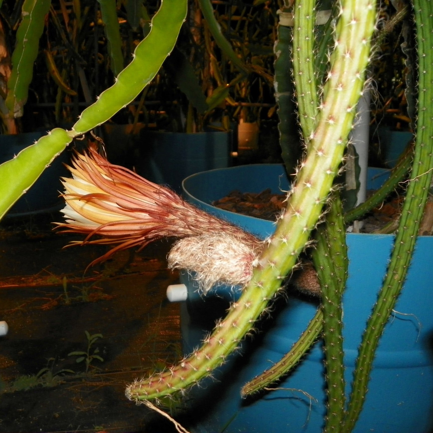 Selenicereus Hondurensis flower bud