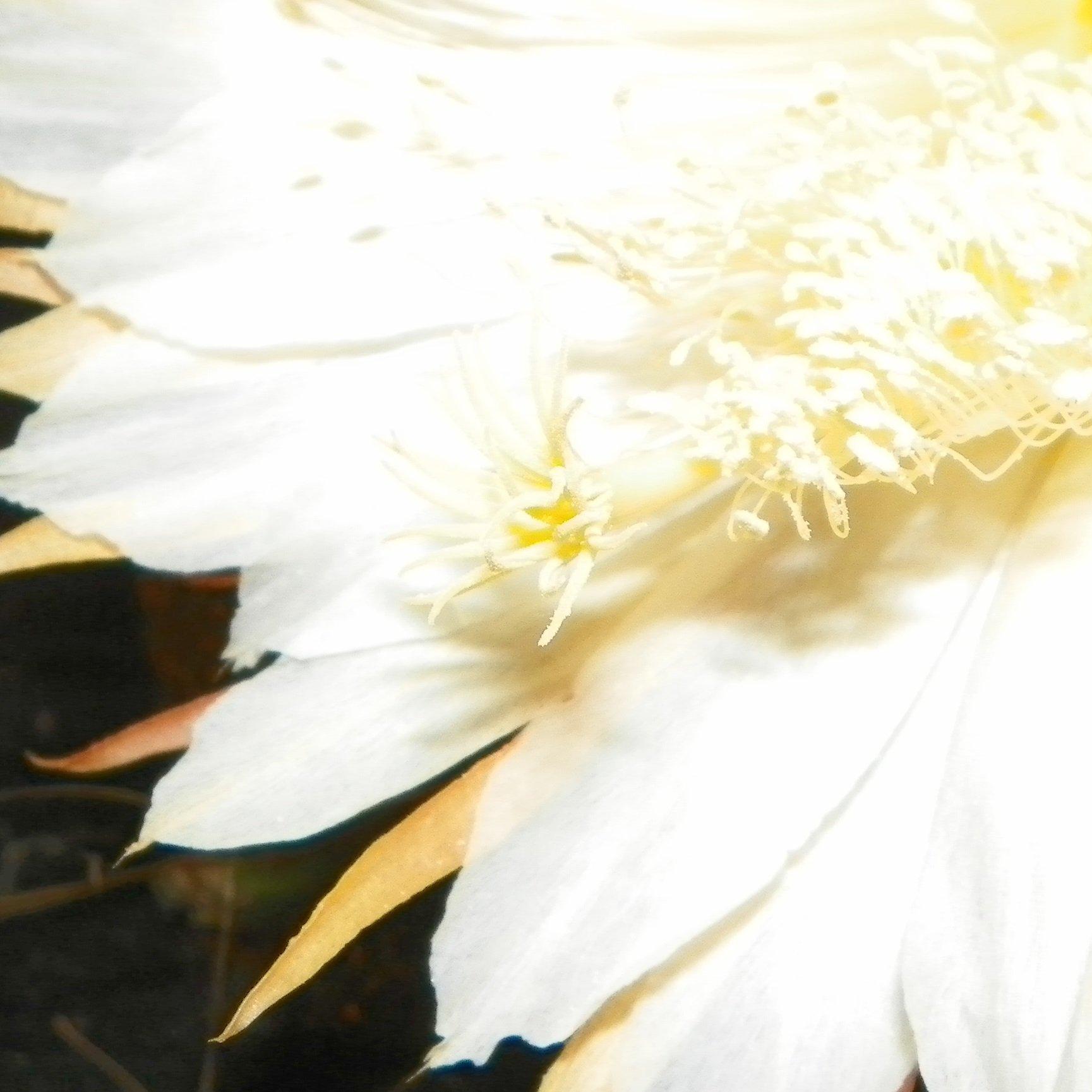 Selenicereus Hondurensis flower stigma