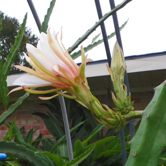 Dragon Fruit variety Hana flowers